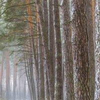Лесные великаны :: Сергей Корнев
