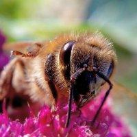 Пчела :: Олеся Енина