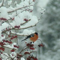 снегирь :: gawrilа - dan