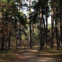 В весеннем сосновом  лесу Фото №1 :: Владимир Бровко