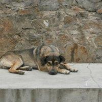 Печаль.Брошенная собака,которую я повстречала в Чите :: Елена Фалилеева-Диомидова