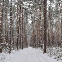 Дорога в сосновом бору :: Ольга Разумовская