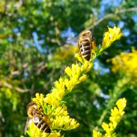 Пчелки на золотарнике. :: Наталья