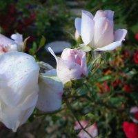 Цветы запоздалые...С неяркими красками...С короткою песнею у солнца взаймы... :: Елена Ярова