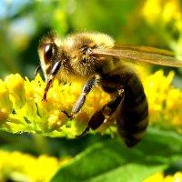Пчелка. :: Наталья