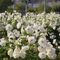 Розы белые :: Александр Деревяшкин