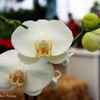 Орхидея :: Николай Волков
