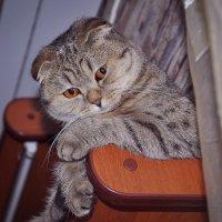 кошка вислоушка :: Валерия Бунак