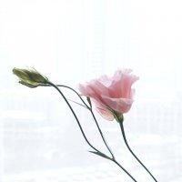Изящный цветок Эустомы :: Вера