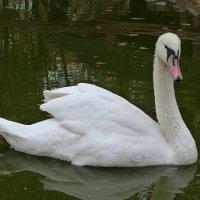 А белый лебедь на пруду..... :: Paparazzi
