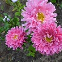 Розовое трио. :: zoja