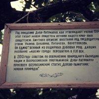 О дереве памятнике в г.Дубовка :: Ольга Чирятникова