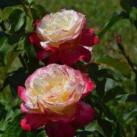 Розы :: Татьяна Кретова
