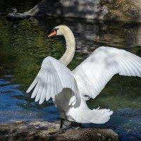 Белый лебедь. Воронцовский парк, Алупка. :: Александр Л......