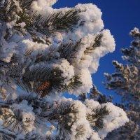 Шишки спят в перине снежной... :: Александр Попов