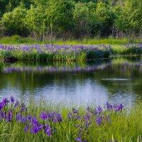 Ирисы цветут :: Дмитрий Гольнев