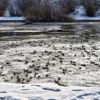 утки на зимовке :: юрий иванов