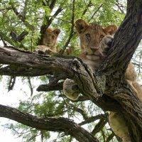 ЛЬВЫ НА ДЕРЕВЬЯХ (ТАНЗАНИЯ) :: Volmar Safaris