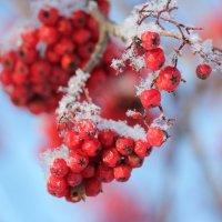 грозди рябины :: Juliya Vasileva