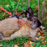 декоративный кролик на прогулке :: Александр Прокудин