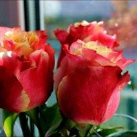 Розы на окне :: Татьяна Пальчикова