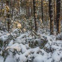 В бору зимой :: Андрей Поляков