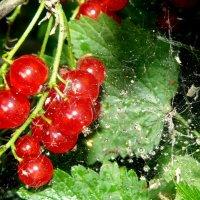 июльские ягоды :: Александр Прокудин