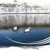 Лебеди :: veera (veerra)