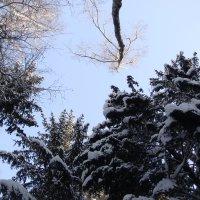 Верхушки деревьев зимой. :: Antonina