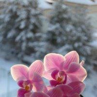 Орхидея ,освещенная солнцем :: valeriy khlopunov