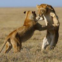 НАЦИОНАЛЬНЫЙ ПАРК СЕРЕНГЕТИ :: Volmar Safaris