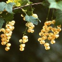 Солнечная ягода :: Валерий Талашов