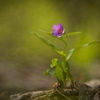 Очарование медовых медуниц... :: Андрей Ветров