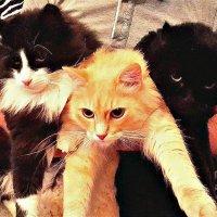 Коты  котики. :: Михаил Столяров