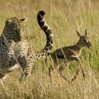 ЗАПОВЕДНИК МАСАИ МАРА (КЕНИЯ) :: Volmar Safaris