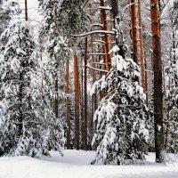 Зима в сосновом бору :: Милешкин Владимир Алексеевич