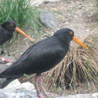 Чёрный кулик-сорока (лат. Haematopus bachmani) :: Антонина