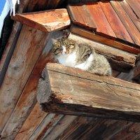 Сибирский кот загорает на январском солнышке :: Иван