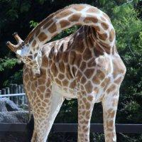 Жираф :: Антонина