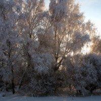 Затерялось солнце в ветках на берёзе... :: Александр Попов