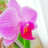 Орхидея :: Анастасия Белякова