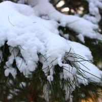 Сосновая ветка под снегом :: Светлана