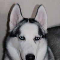 Сибирская Хаска :: Колибри М