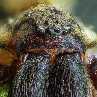Портрет паука-крестовика :: Денис Штейн