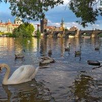 Лебеди на Влтаве :: Виктория Бондаренко