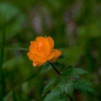 Аленький цветок(Жарок) :: Олег Мартоник