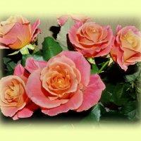 розы :: Валентина Папилова
