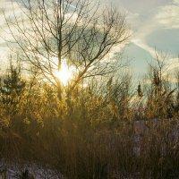 Солнце сквозь дерево :: Юрий Стародубцев