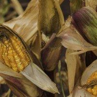 дети кукурузы :: Елена Бразис