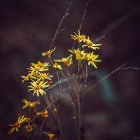 Полевые цветы :: Виктория Воробьёва